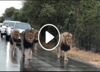 FB Lion Video Viral