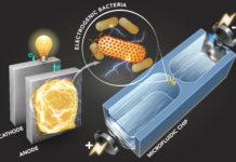 Technique identifies electricity producing bacteria